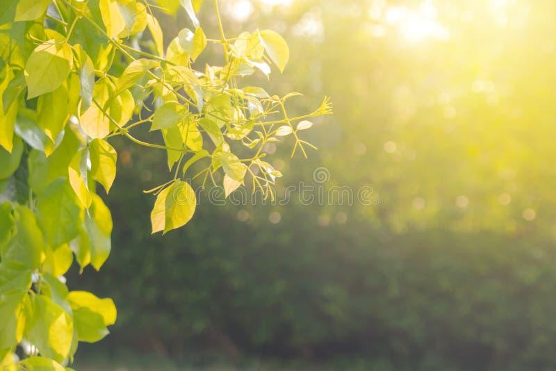 Зеленый естественный взгляд конца вверх по зеленым листьям в саде с солнечным светом в утре стоковые фото