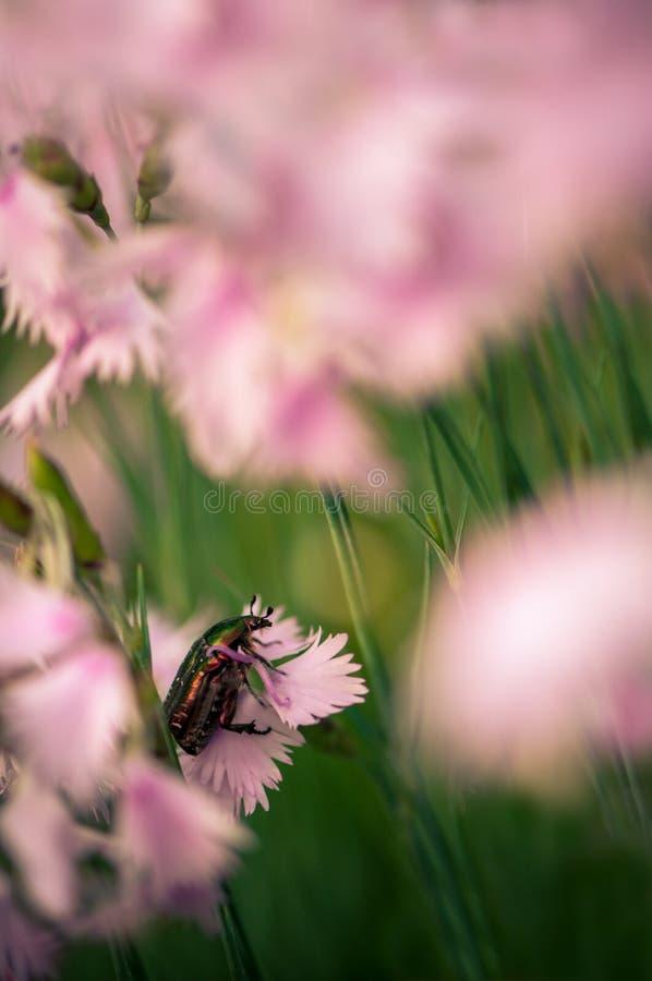 Зеленый жук на розовой гвоздике белого цветка лето в саде стоковые фотографии rf