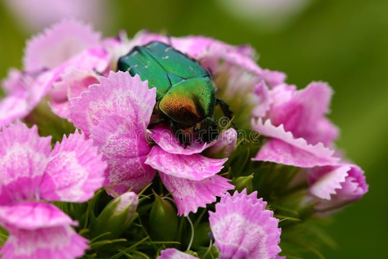 Зеленый жук стоковое изображение rf