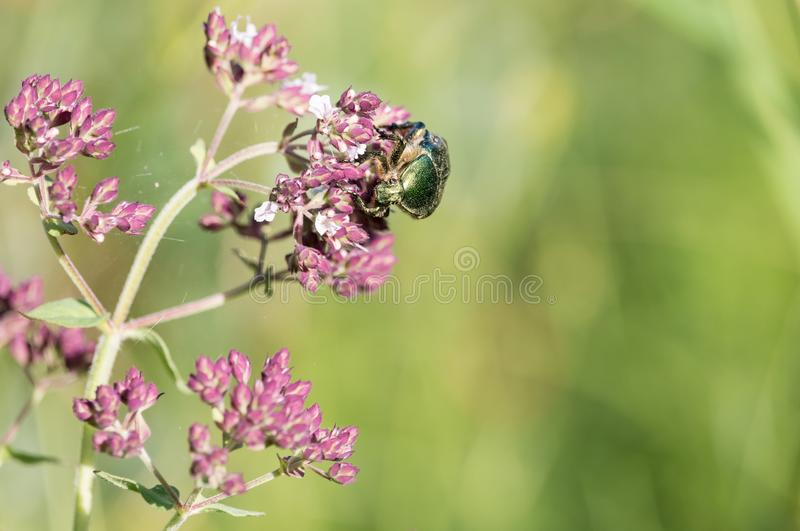 Зеленый жук розового жук-чефера на фиолетовых цветках душицы стоковые фото
