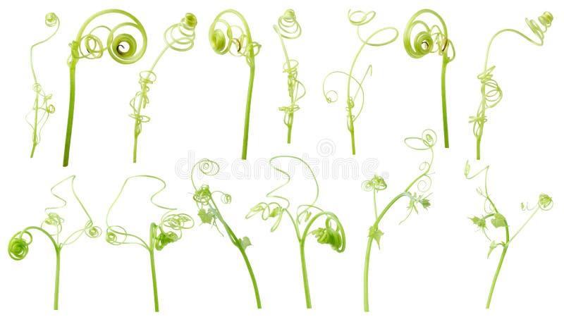 Зеленый завод плюща изолированный на серой предпосылке, пути клиппирования иллюстрация вектора