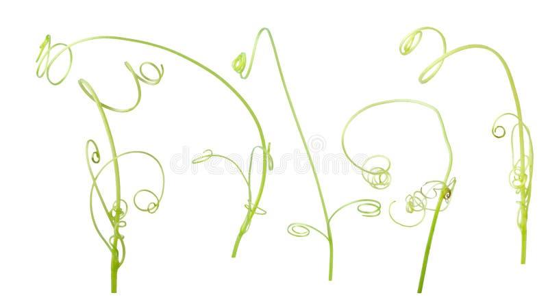 Зеленый завод плюща изолированный на серой предпосылке, пути клиппирования бесплатная иллюстрация