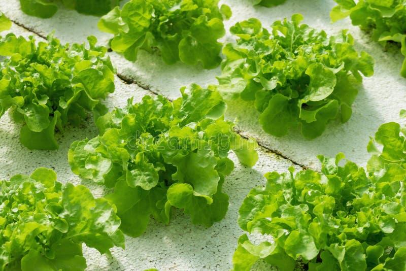 Зеленый завод салата салата дуба, hydroponic концепция земледелия овоща стоковое фото rf