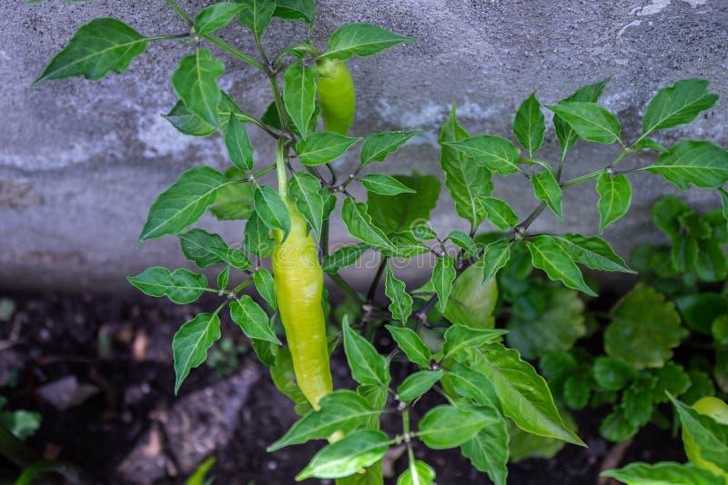 Зеленый завод chili в саде рядом со стеной стоковое фото rf