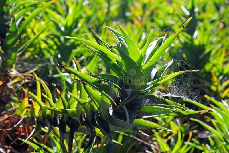 Зеленый завод vera алоэ стоковая фотография