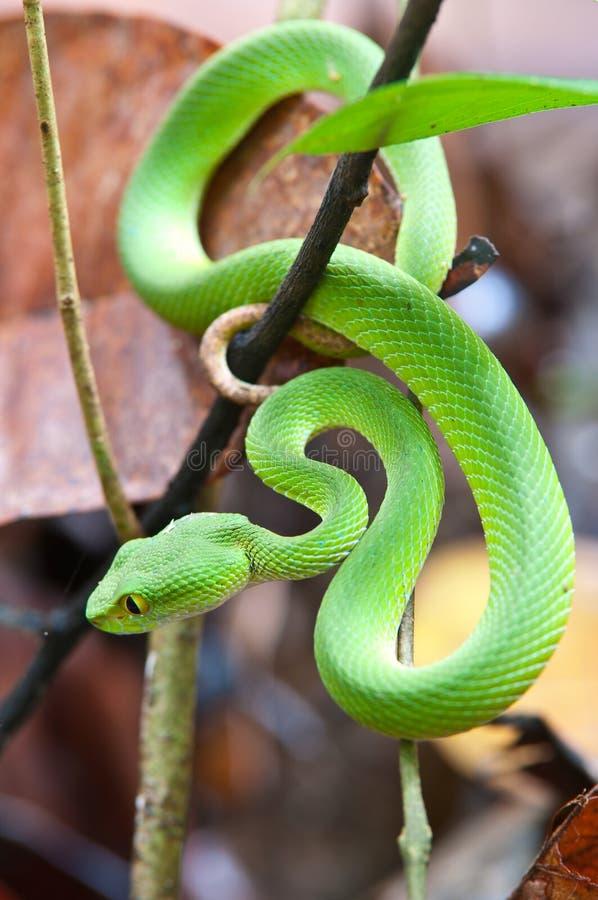 зеленый змеенжш змейки ямы стоковое изображение rf