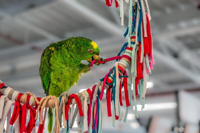 Зеленый играть попугая стоковые изображения