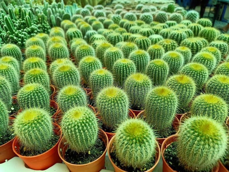 Зеленый кактус завода стоковые изображения