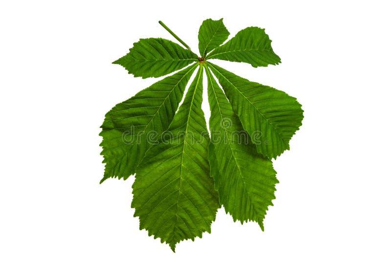 Зеленый каштановый лист на белом фоне стоковое фото rf