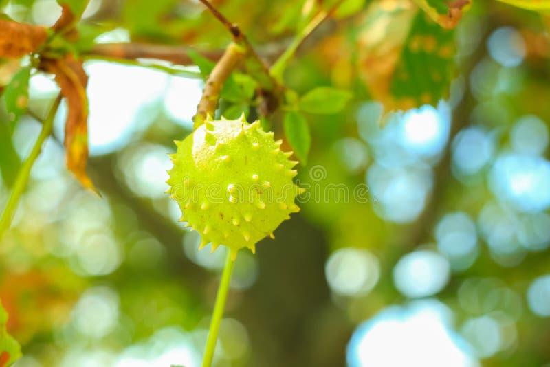 Зеленый каштан на дереве, предпосылка природы стоковые изображения