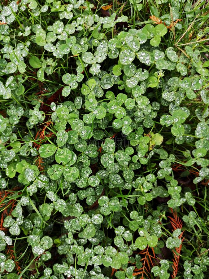 Зеленый клевер лишается после дождя, и льются капли воды стоковое фото rf