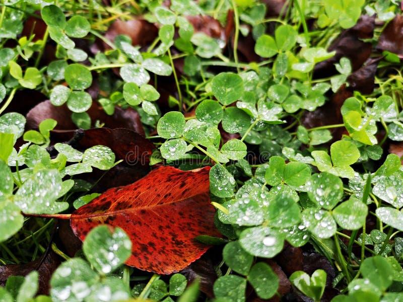 Зеленый клевер лишается после дождя, и льются капли воды стоковые изображения