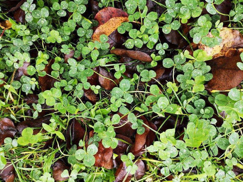 Зеленый клевер лишается после дождя, и льются капли воды стоковое изображение rf