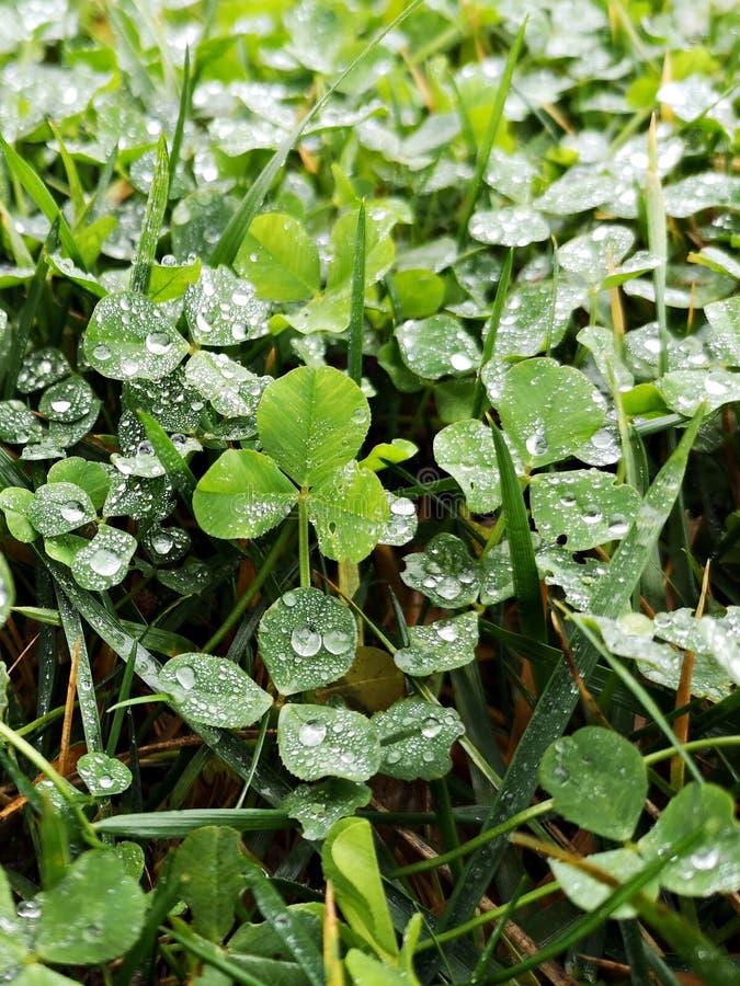 Зеленый клевер лишается после дождя, и льются капли воды стоковые изображения rf