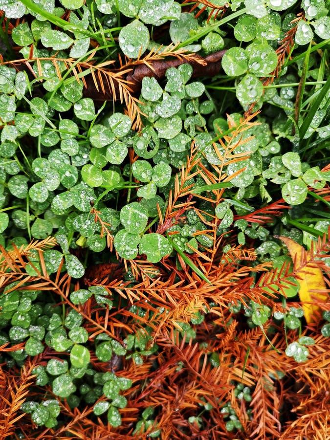 Зеленый клевер лишается после дождя, и льются капли воды стоковая фотография