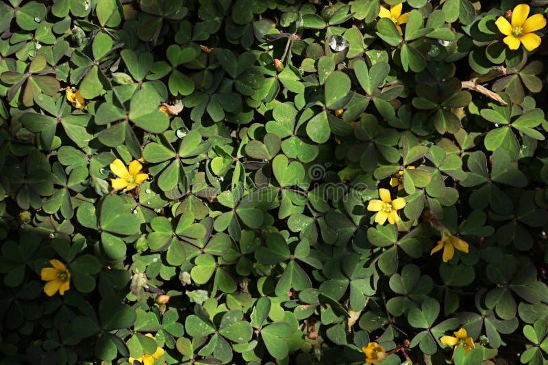 Зеленый клевер на том основании с немного желтых цветков стоковое фото rf