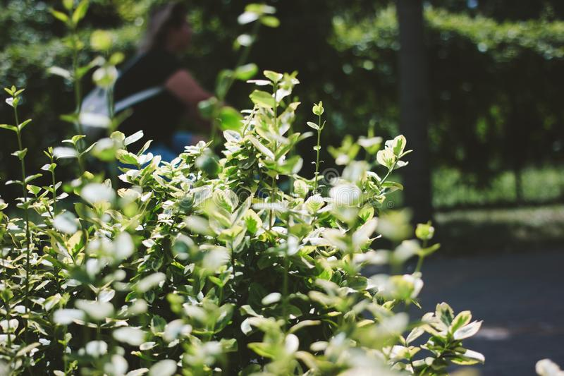 Зеленый конец Буша вверх Запачканная женщина на предпосылке стоковые изображения rf
