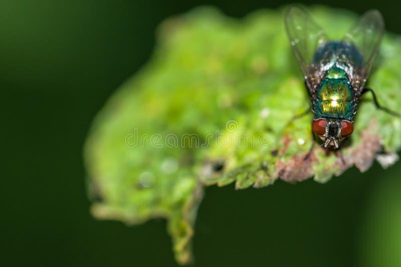 Зеленый конец sericata Lucilia мухы вверх по съемке макроса, на зеленой естественной предпосылке стоковая фотография rf