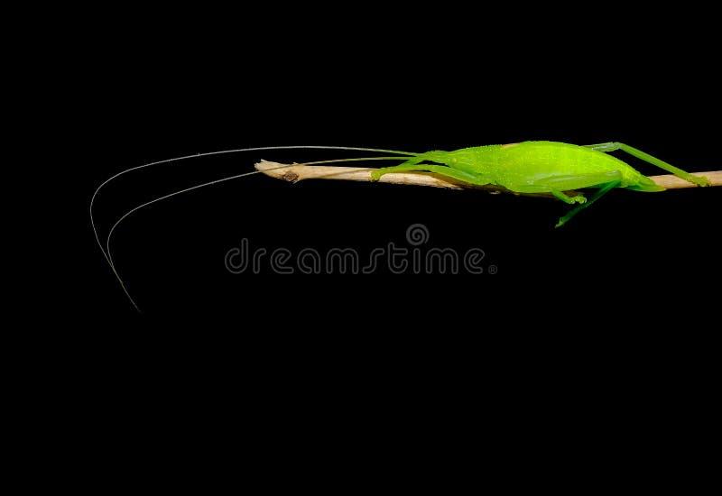 Зеленый кузнечик с длинным пребыванием щупальец на небольшой ветви дерева с темной предпосылкой стоковое изображение