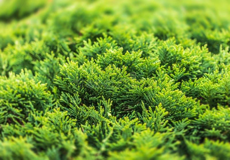 Зеленый куст туи стоковые фото