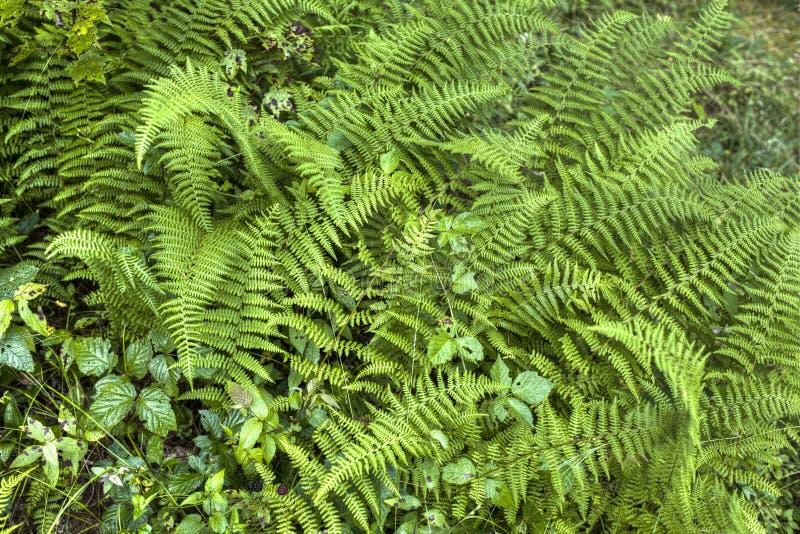 Зеленый лес папоротника в северной западной Пенсильвании, США стоковые фото