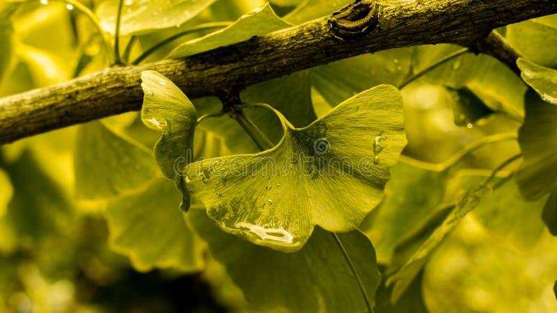 Зеленый лист золотой листочки Природный свежий листву джинкго-дерева с раиндропами стоковые изображения rf