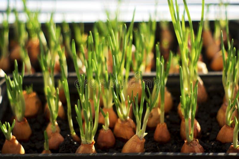 Зеленый молодой лук растет стоковая фотография rf