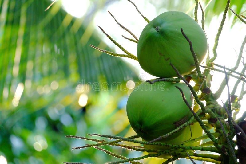 Зеленый молодой пук кокоса с листьями стоковые изображения