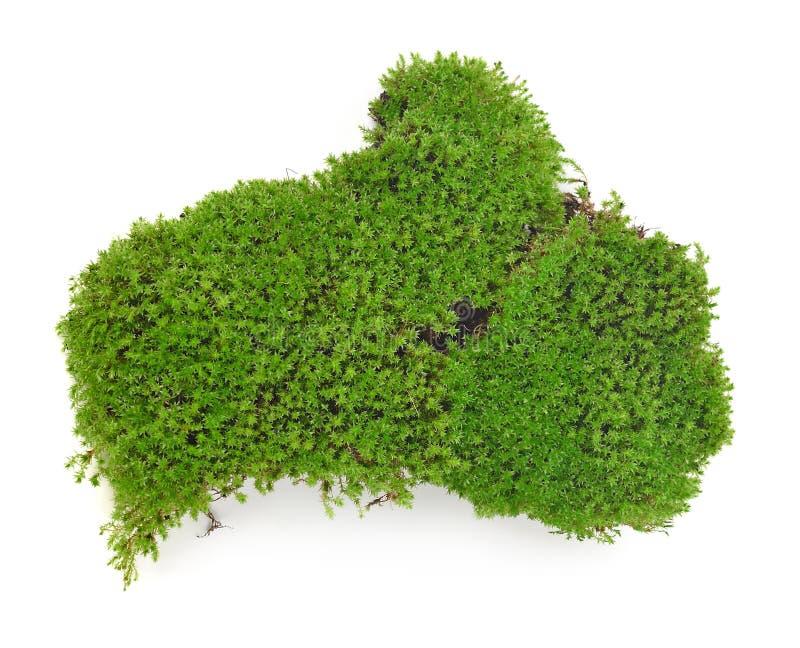Зеленый мох изолированный на белой предпосылке стоковые фотографии rf
