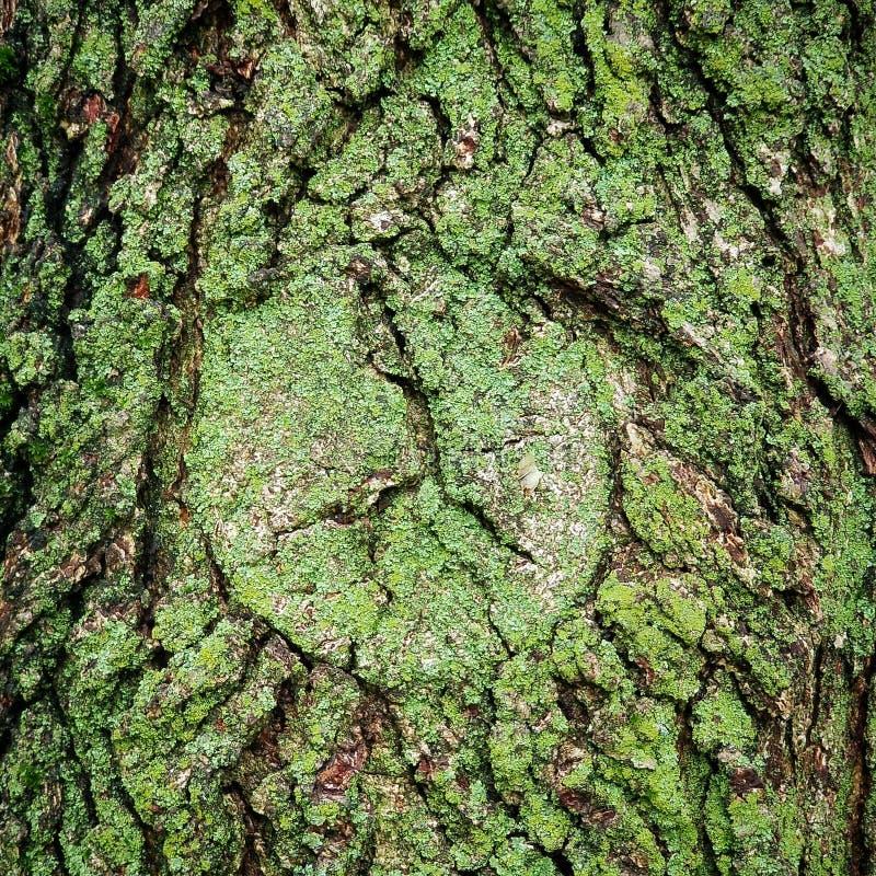 Зеленый мох на коре дуба стоковое изображение rf