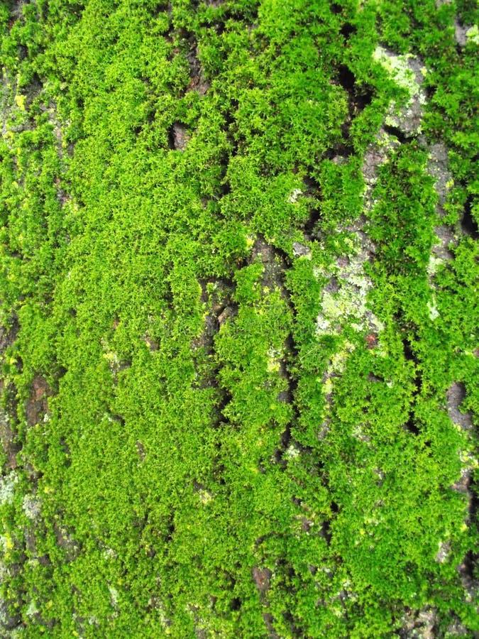 Зеленый мох на стволе дерева стоковые фотографии rf