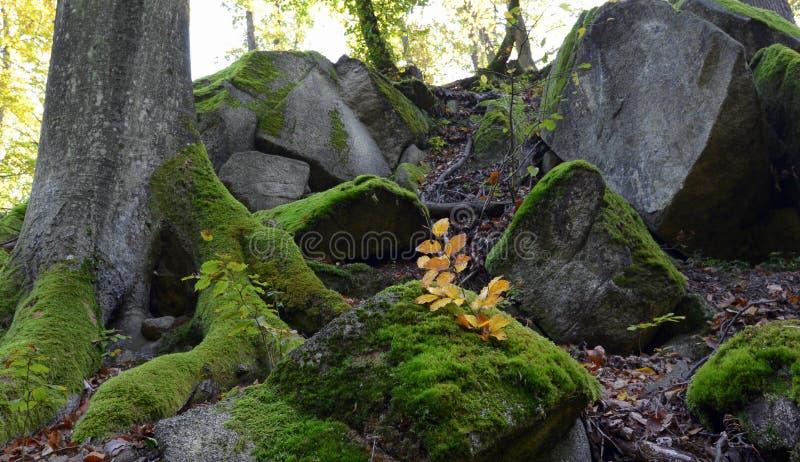 Зеленый мох на утесах и деревьях в древесинах стоковое изображение rf