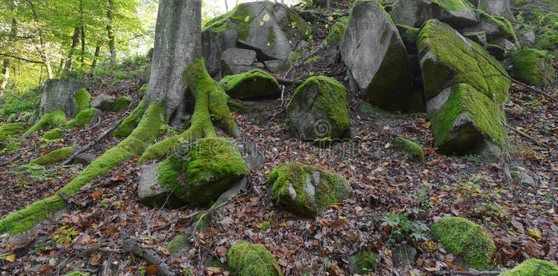 Зеленый мох на утесах и деревьях в древесинах стоковые изображения