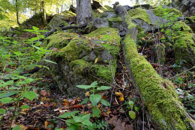 Зеленый мох на утесах и деревьях в древесинах стоковые фото