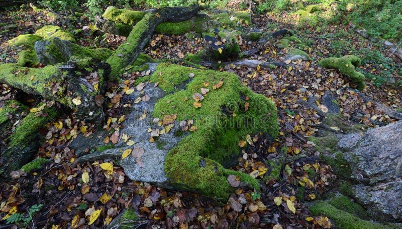 Зеленый мох на утесах и деревьях в древесинах стоковое фото