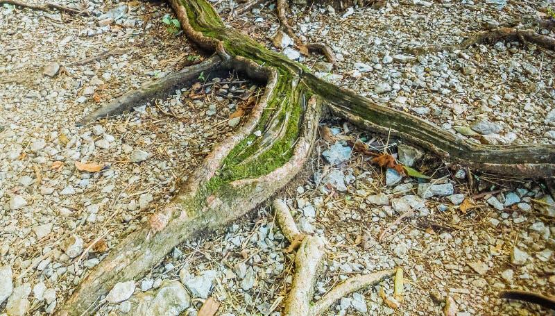 Зеленый мох покрыл дерево, корни стоковые фотографии rf
