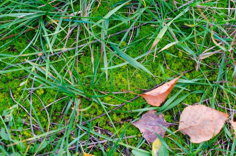 Зеленый мох с некоторыми травой и красными упаденными листьями осени стоковое фото rf