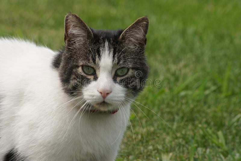 Зеленый наблюданный кот киски, предпосылка зеленой травы стоковые фотографии rf