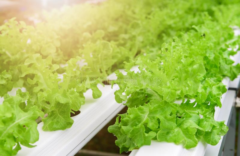 Зеленый овощ салата салата дуба в hydroponic ферме стоковое изображение rf