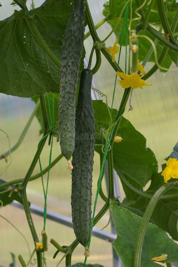 Зеленый огурец растет на кусте огурца в саде стоковые изображения