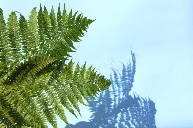 Зеленый папоротник выходит с тенью на голубую предпосылку Абстрактная тропическая предпосылка лист, концепция лета стоковое фото rf