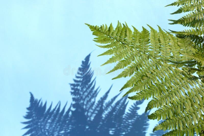 Зеленый папоротник выходит с тенью на голубую предпосылку Абстрактная тропическая предпосылка лист, концепция лета стоковые фото