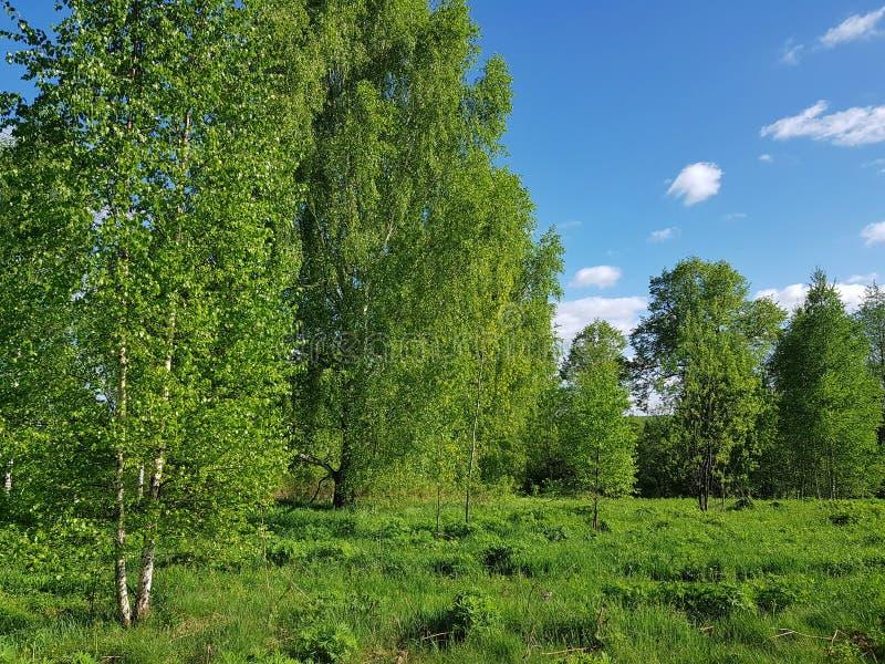 Зеленый пейзаж весны Деревья березы со свежей листвой листьев стоковые изображения rf