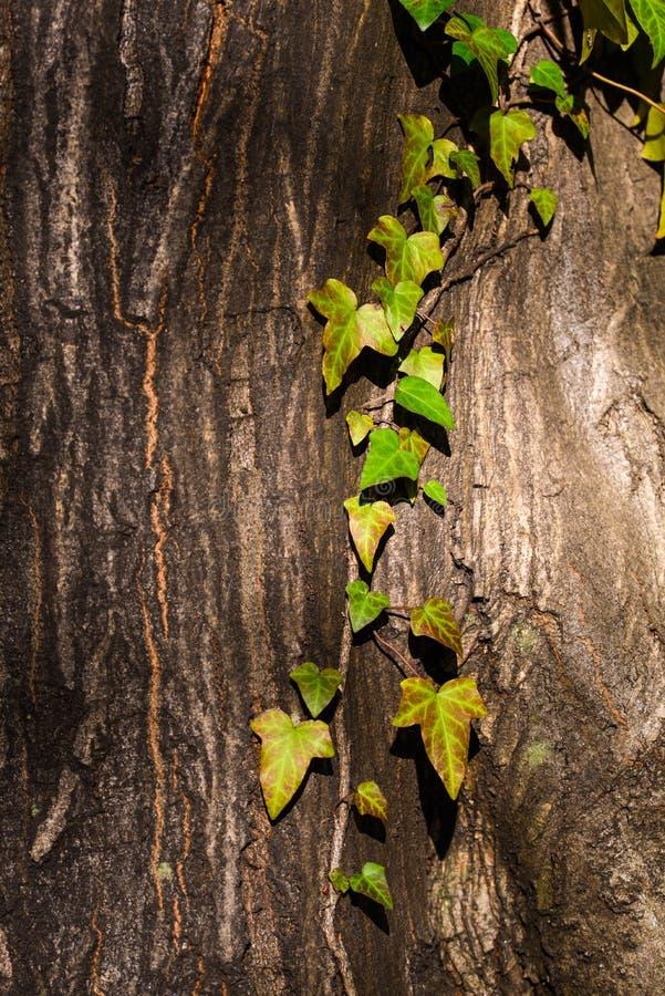Зеленый плющ взбираясь вверх ствол дерева стоковые изображения rf