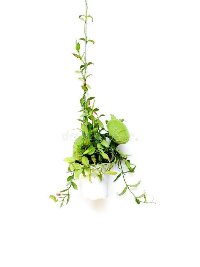 Зеленый плющ в цветочном горшке изолированном на белой предпосылке стоковые изображения rf