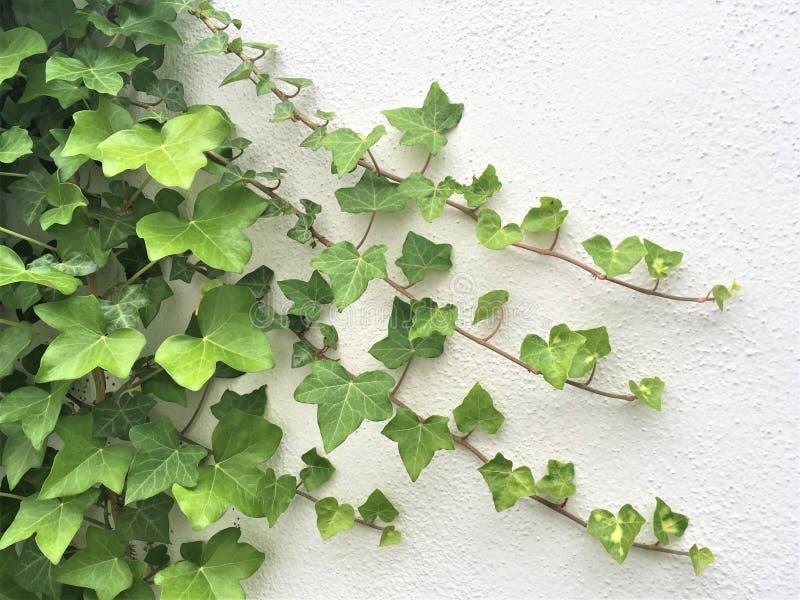 Зеленый плющ на белой стене стоковая фотография