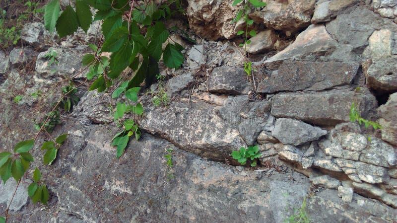 Зеленый плющ на стене древней крепости на юге России стоковые фотографии rf