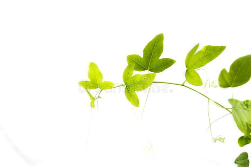 зеленый плющ стоковая фотография