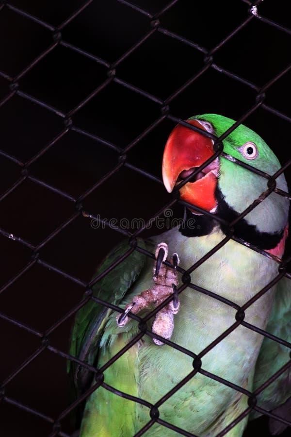 Зеленый попугай за клеткой стоковые изображения