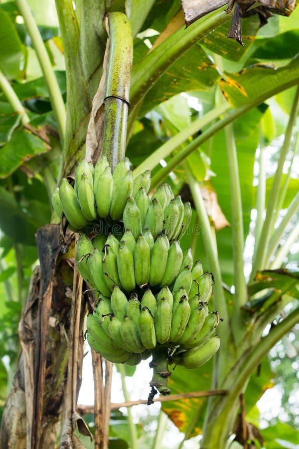 Зеленый пук банана на дереве стоковые изображения rf